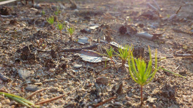 Metsän oikean uudistamistavan valinta mahdollistaa parhaan mahdollisen metsän tuoton ja maksimaalisen hiilensidonnan